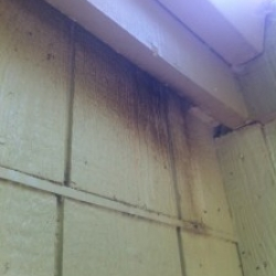 Bats nesting in a building. Notice the body oil marks on the wall.