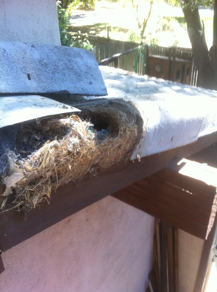 Rats nesting under roof tiles